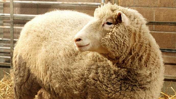 Dolly the Sheep mammal clone Ian Wilmut Roslin Institute July 5, 1996